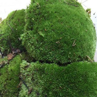 Holland Moss
