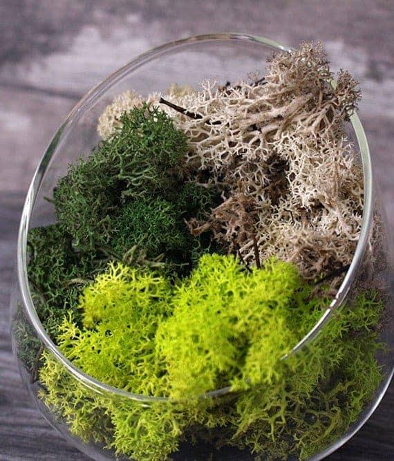 terrarium supplies singapore Reindeer Moss August 2021